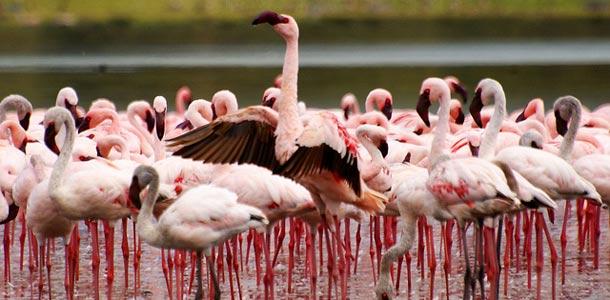 Kenialaiset Flamingot