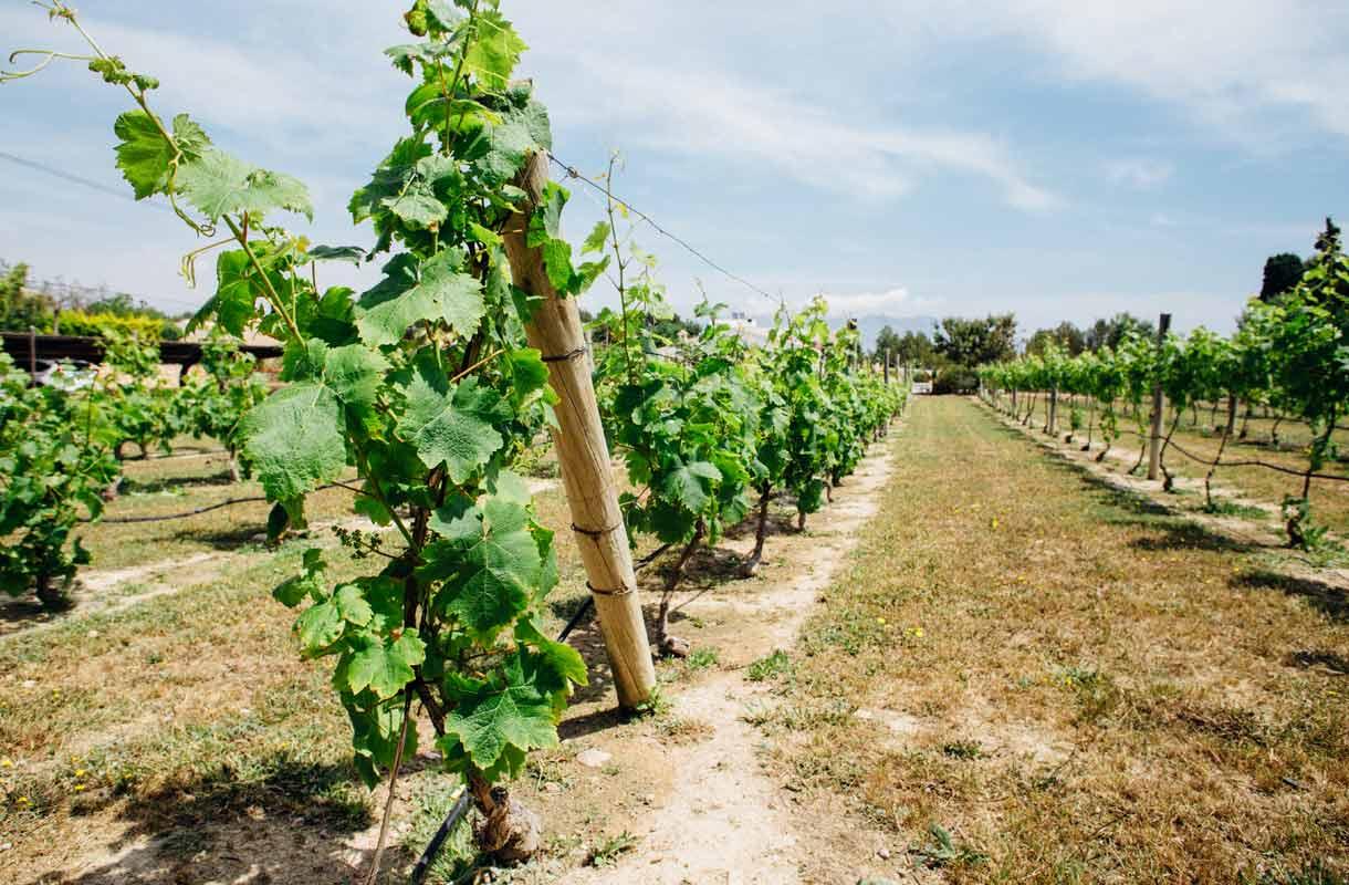 Enrique Mendozan viinitila lähellä Espanjan Alteaa.