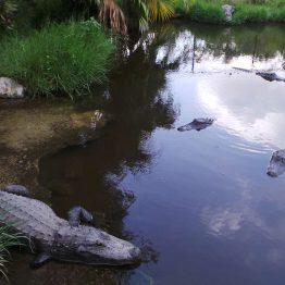 Alligaattori Evergladesissa