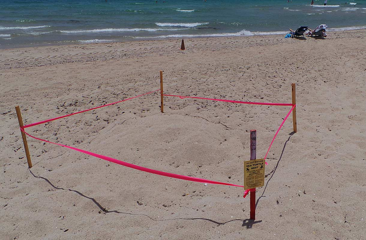 Merikilpikonnat pesivät Fort Lauderdalen rannoilla